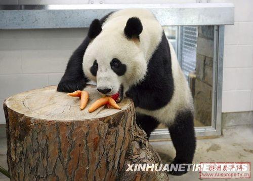 """大熊猫""""网网""""和""""福妮""""吃上澳洲竹子(图)"""