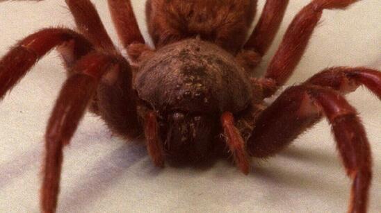 澳洲蜘蛛爬行动物公园(australian reptile park)的饲养员克里斯滕森